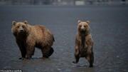 تصاویر | حرکات موزون خرس جوان برای فراری دادن عکاس