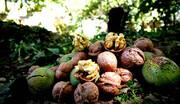 سرمازدگی بهاره عامل کاهش ۲۲درصدی تولید گردوی آذربایجانغربی