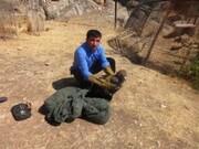 رهاسازی یک بهله عقاب طلایی و  سارگپه معمولی در آسمان خرم آباد