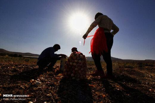 برداشت پیاز از مزارع استان چهارمحال و بختیاری