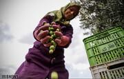 هشدار در مورد روغن زیتونهای تقلبی