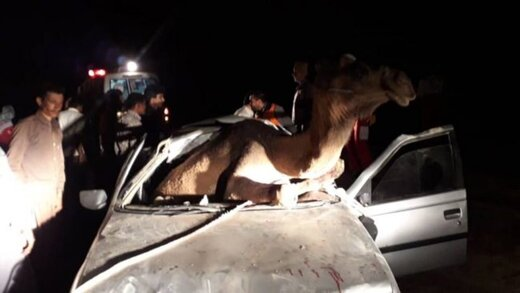 تصادف پژو با شتر؛ حیوان وارد خودرو شد!