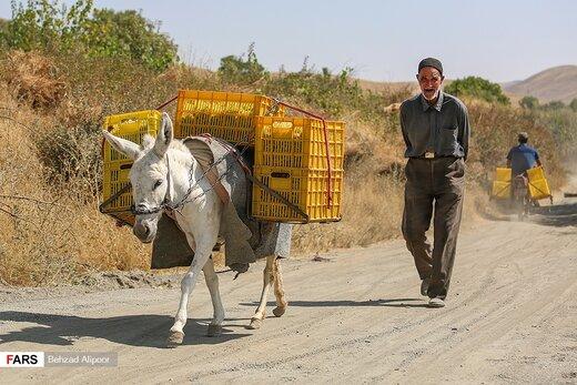 برداشت انگور و تولید شیره در دره جوزان