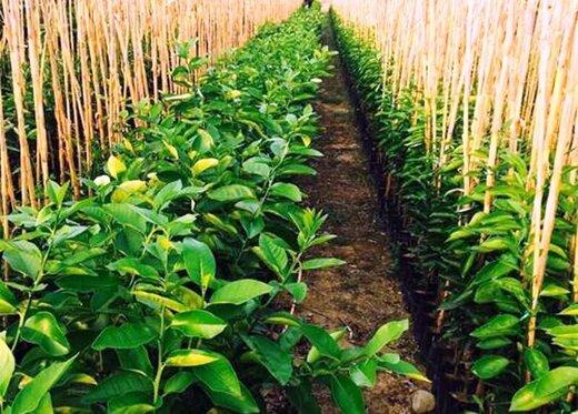 تولید ۴۰ میلیون اصله نهال مثمر در نهالستانهای کشور