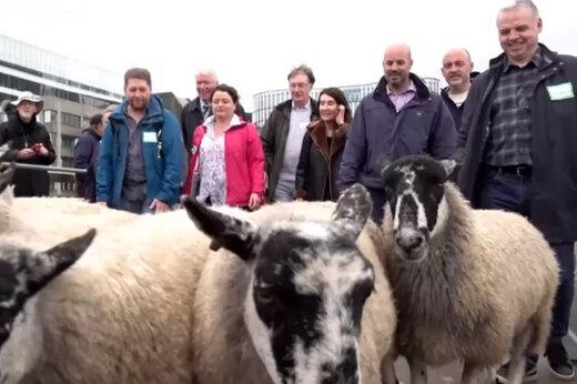 فیلم | مراسم سنتی گذراندن گوسفندان از روی پل لندن برگزار شد