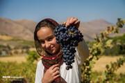 تصاویر | لذت چیدن انگور سیاه از باغات کردستان