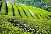 سالانه ۲۵ هزارتن چای ایرانی کجا میرود؟