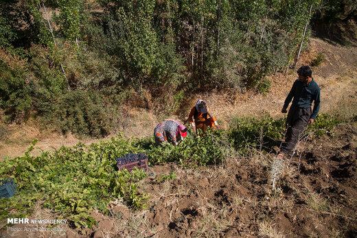 برداشت انگور سیاه از باغات استان کردستان