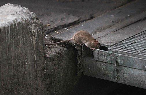 جمعآوری لاشه هزاران موش از سطح تهران