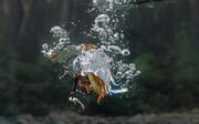 تصاویر | شیرجه مرغ ماهیخوار برای شکار در دل آب