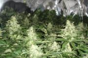 فیلم | کشف مزرعه ماریجوانا پشت دیوار حمامی در ایتالیا!