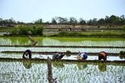 ورود گسترده برنج خارجی به شمال شایعه است