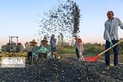 تصاویر | مراحل برداشت تخمه آفتابگردان از مزارع ارومیه