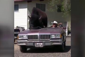 فیلم | بوفالوی غولپیکر سوار بر خودروی کابوی آمریکایی!