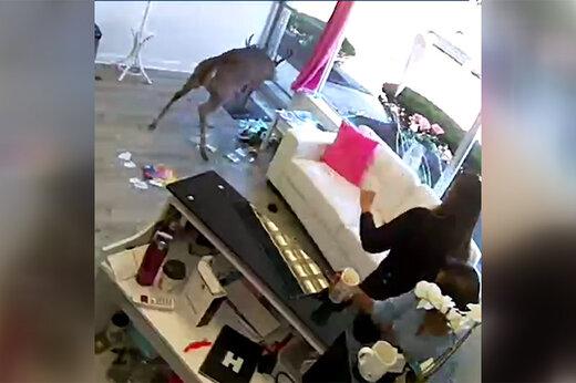 فیلم | حمله یک گوزن به سالن آرایشگاه