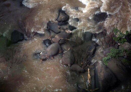 فیلم و عکس | کشتهشدن ۶ فیل هنگام نجات یکدیگر از سقوط در آبشار
