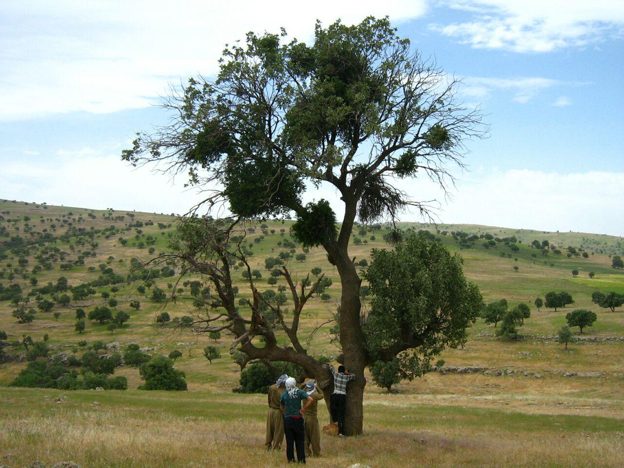 لورانتوس بر تنه درختان