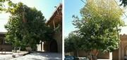 ثبت مجموعه درختان کهنسال بافت تاریخی میامی در فهرست میراث طبیعی ملی