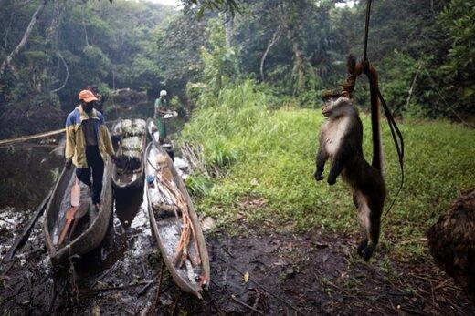 آویزان کردن یک میمون مرده از درخت برای دور نگه داشتن مورچهها در جنگلی در نزدیکی شهر مبانداکا جمهوری دموکراتیک کنگو