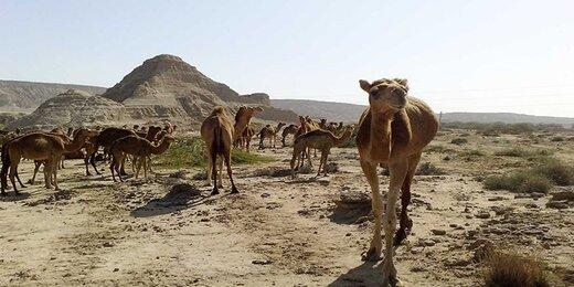 فعالیت ۲۱۰ خانوار قمی در امر پرورش شتر