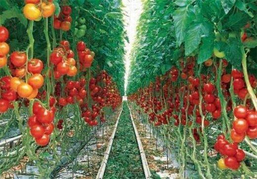 ۳۰ میلیون دلار محصولات گلخانهای از منطقه آزاد ارس صادر شد