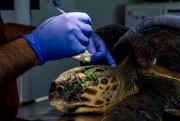 تصاویر | سفر پرمخاطره بچه لاکپشتها