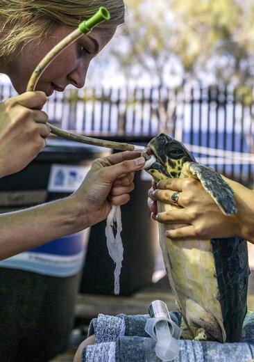 بچه لاکپشتها در سواحل یونان