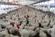 فیلم | ماجرای مرغهای تریاکی چیست؟