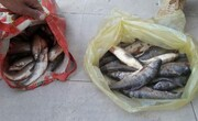 متخلفین صید غیر مجاز ماهی در دلفان دستگیر شدند