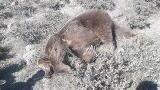 بازداشت عاملان کشتار یک قلاده خرس در ماکو/ عکس