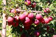 میزان تولید سیب در لرستان به ۹۰ هزار تن خواهد رسید