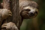 روز «تنبل»ترین موجودات روی زمین مبارک!/ عکس