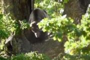 فیلم | فیلم جالب از چپاول دسترنج خرس قهوهای مازندران