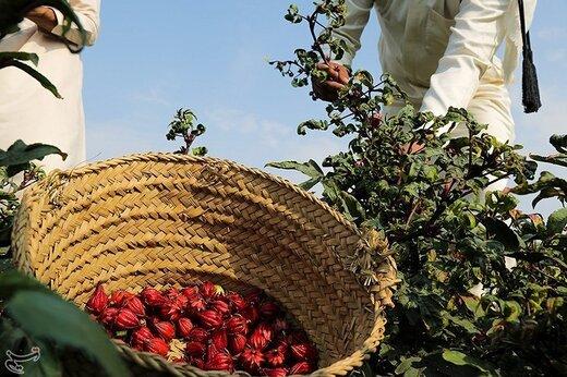 تصاویر | برداشت چای ترش از زمینهای سیلزده خوزستان