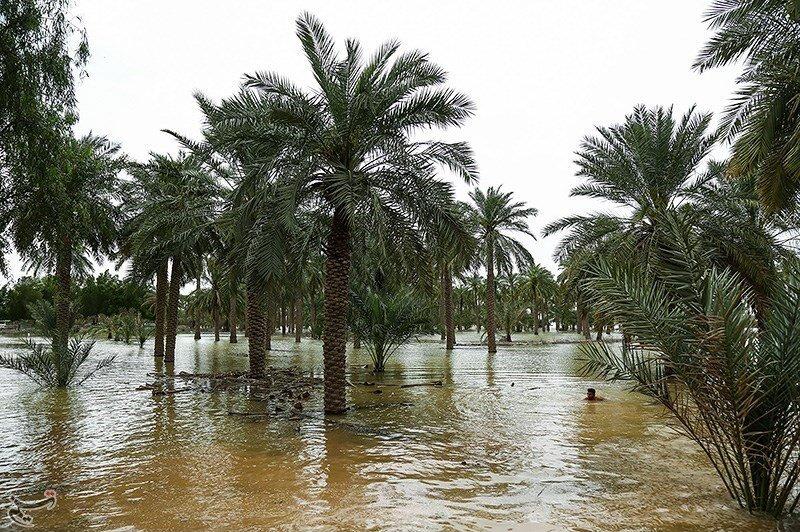 بوتههای چای قرمز در زمینهای سیلزده علوه خوزستان