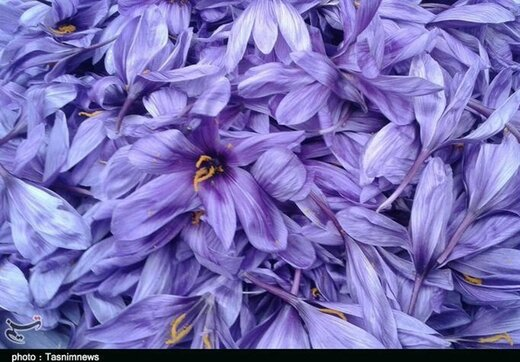 هشدار نسبت به رکوردشکنی تولید زعفران