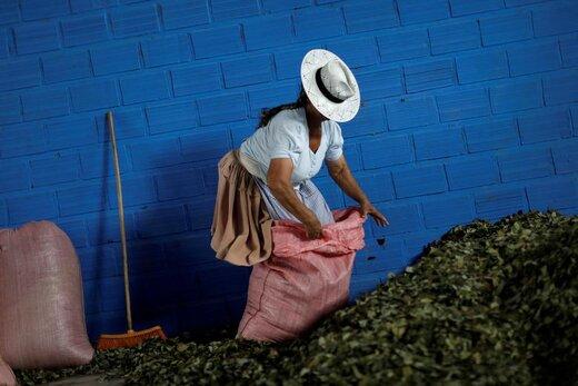 کشاورز بولیویایی یک روز قبل از انتخابات ریاست جمهوری این کشور در منطقهای که اوو مورالس، رئیس جمهور، فعالیت خود را آغاز کرد، گیاه کوکا را برای فروش آماده میکند