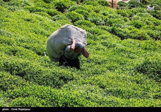 تولید ۲۸ هزار تن چای ایرانی از ابتدای امسال
