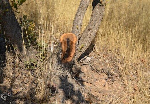 سودجویان شبانه درختان بلوط دنا را قطع میکنند/تصاویر