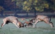 تصاویر | شاخ به شاخ گوزنها در ریچموند پارک لندن