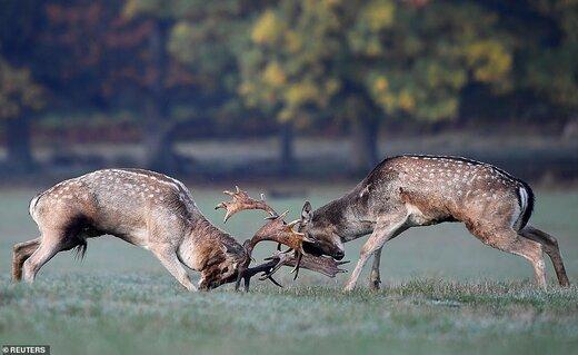 جفتگیری گوزنها در ریچموند پارک لندن