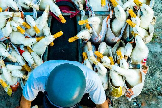 تصویر جالب از جابهجایی اردک با موتور