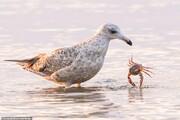 تصاویر | درگیری مرغ دریایی با یک خرچنگ