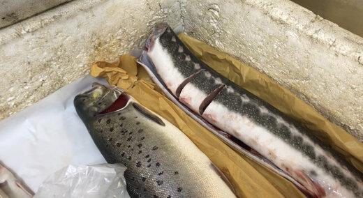 فیلم | قیمت ماهی ازون برون و آزاد دریای خزر صید قاچاق چند است؟
