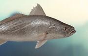 زنان باردار ماهی شوریده مصرف نکنند