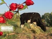 تصاویر | مزرعه چای ترش را ببینید