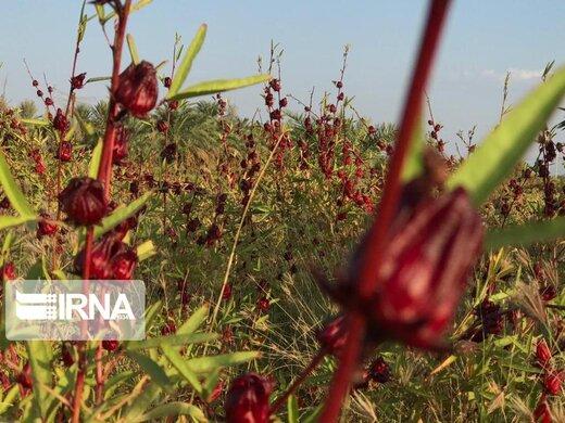 دلگان خاستگاه چای ترش کشور