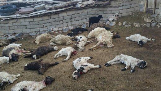 گرگهای وحشی ۱۹۰ گوسفند یک گله را خوردند