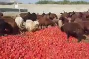 فیلم | گوجه فرنگی هایی که خوراک دام شدند!