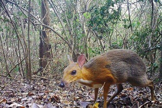کشف جانور عجیبی که تصور میشد منقرض شده است/ عکس